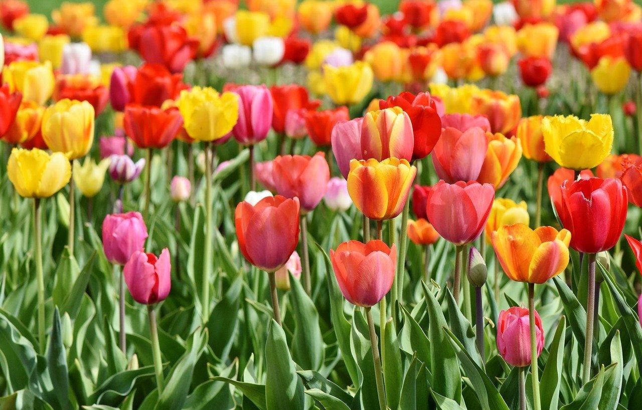 Tulipany - idealny wybór do ogrodu oraz jako kwiaty cięte